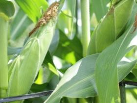 トウモロコシや大豆が原料に使われています